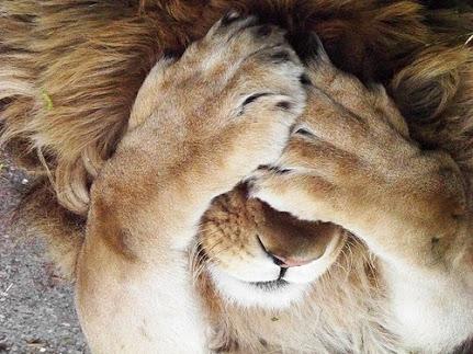 lion-peek-a-boo